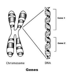 Gene Diagram